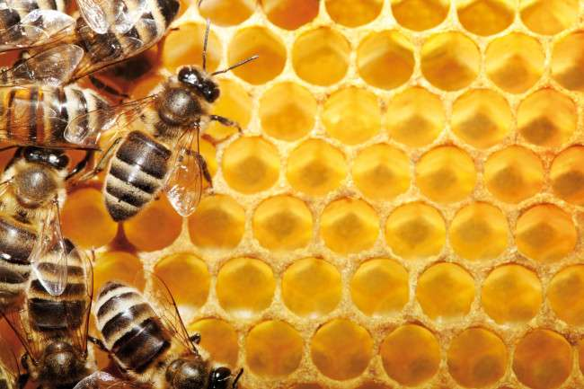 worker bees on honeycomb cells macro Importance & Uses of Honey